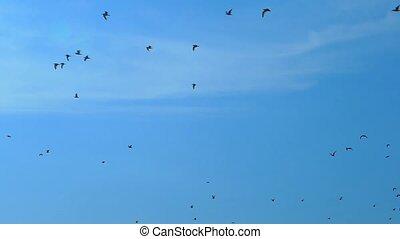 Slow motion, against the blue sky flies a flock of black...