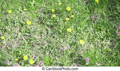 Slow motion beautiful sunny meadow with dandelions