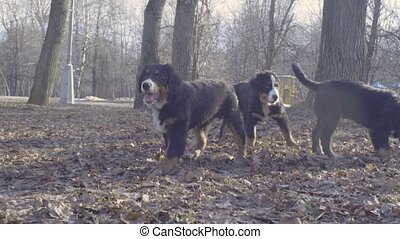 Bernese shepherd dog puppies playing with a stick - Slow...