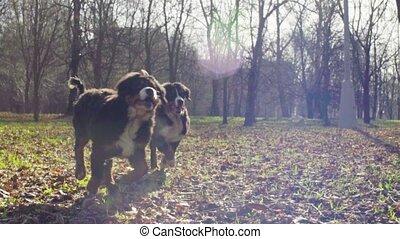 Bernese shepherd dog puppies running in the park - Slow...