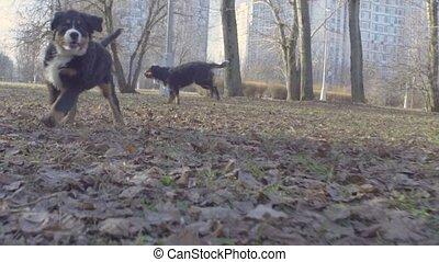 Bernese shepherd dog running in the park - Slow motion....