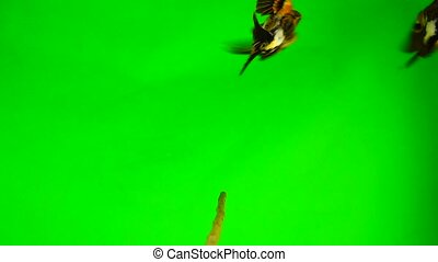 Slow motion, Brambling (Fringilla montifringilla) sits on a...