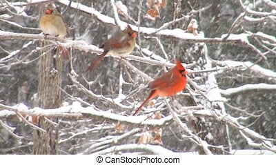 Slow motion cardinal in snowstorm