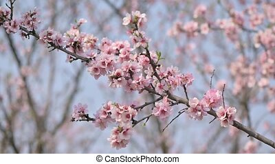 Slow motion closeup of blooming almond tree pink flowers at ...