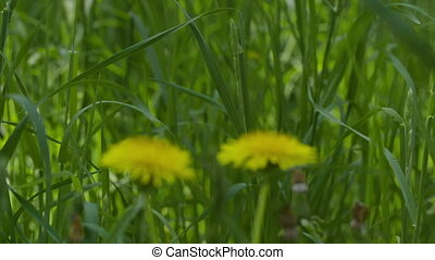 slow motion dandelions on sunny day