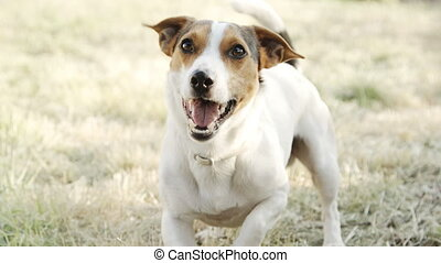 Dog breed Jack Russell Terrier, on whom the barks. - Slow...