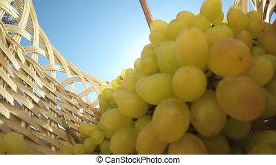 Slow Motion: Female gardener placing seedless white grape bunches inside basket