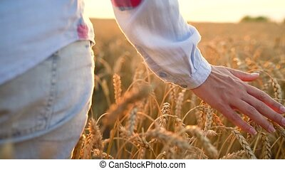 Slow motion. Female hand touching wheat on the field in a sunset light