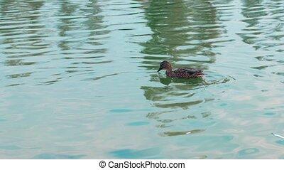 Slow motion female mallard duck swimming in a pond. Wildlife concept.