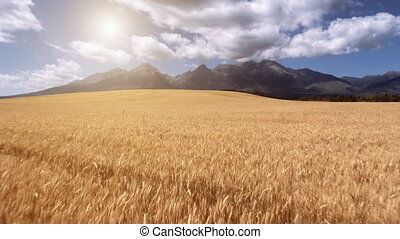 Slow motion flight above yellow ripe wheat field