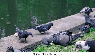 Slow motion: flock of pigeons eating bread crumbs at street...