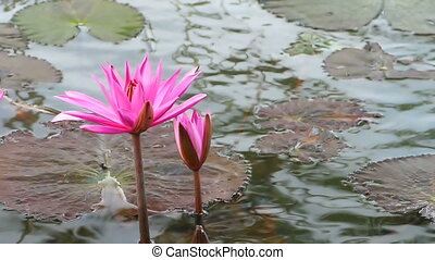 blooming pink water lily in a pond