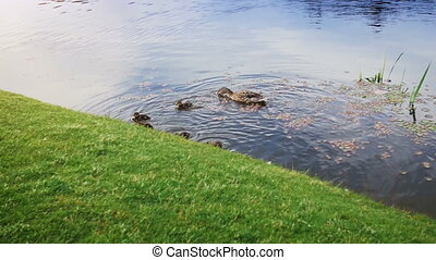 Slow motion footage of family of ducks swimming on pond -...
