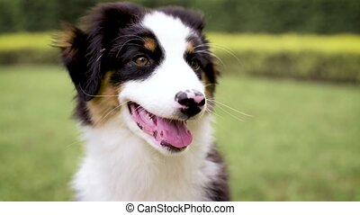 Australian shepherd puppy - Slow motion - Happy Aussie on...