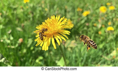 Slow motion Honey Bee collecting pollen - Slow motion of...
