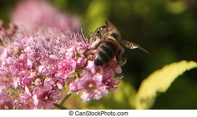 A closeup bee in slow motion gathering nectar from a beautiful pink flower. Macro view of summer nature. Spring in slowmo