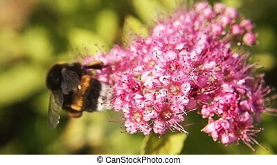 A closeup bumblebee in slow motion gathering nectar from a beautiful pink flower. Macro view of summer nature. Spring in slowmo