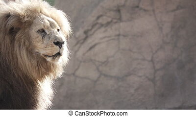 Slow Motion of a Lion on left side of the frame