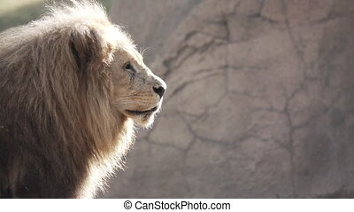 Slow Motion of a Lion turning head - Super Slow Motion of a...