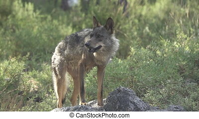 Slow motion of entire wolf eating over rocks - Front view of...