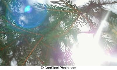 Slow motion of fir branches on beautiful sun background in...