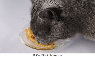 Slow motion of gray domestic cat eating wet canned food for cats from a plate
