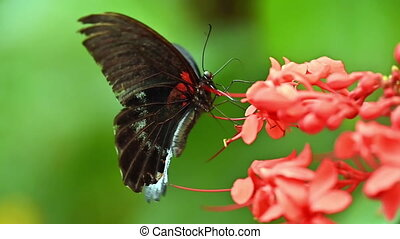 Slow motion of Great Mormon Butterfly spreading the wings. Papilio memnon, the large dark black butterfly in swallowtail family found in southern Asia. High quality FullHD footage
