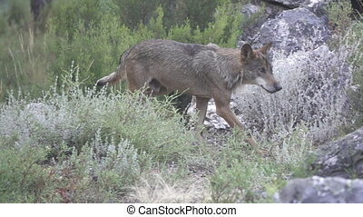 Slow motion of hurt wolf walking, side view, flat color -...