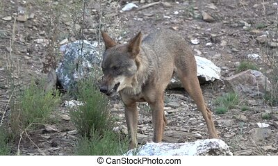 Slow motion of wolf chewing and walking - Front view of...