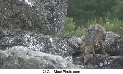 Slow motion of wolf climbing rocks - Rear view of wolf...