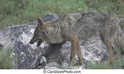 Slow motion of wolf eating over rocks, entire body - Side...