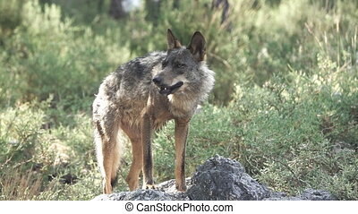 Slow motion of wolf eating over rocks - Front view of entire...