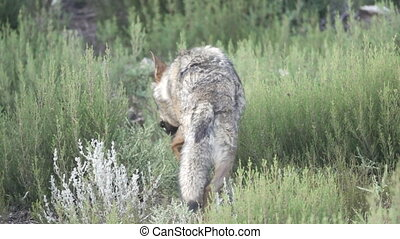 Slow motion of wolf entering the bush - Rear view of wolf...