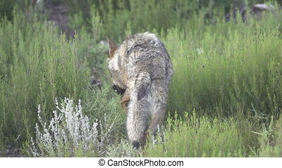 Slow motion of wolf entering the bush, flat color - Rear...