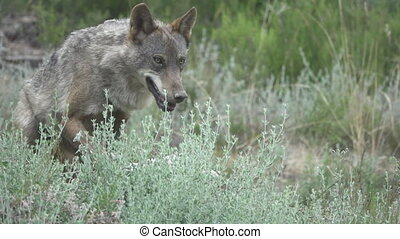 Slow motion of wolf going to lie down, front view, flat...