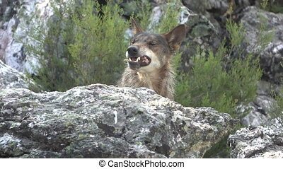 Slow motion of wolf head eating over rocks - Front view of...