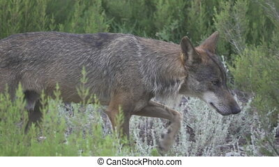 Slow motion of wolf walking, side view, flat color - Side...