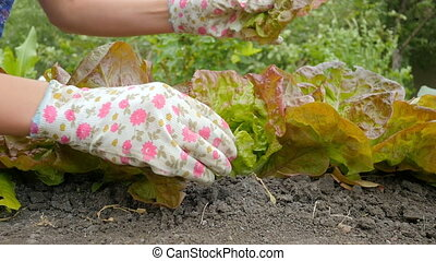 Slow motion of woman hands cleans lettuce leaf salad. Female person in gloves working on a sunny day in field