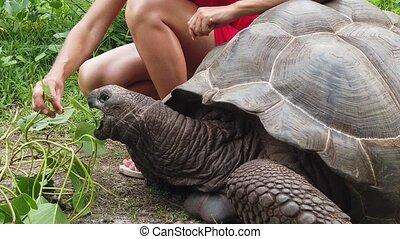 Caucasian woman in red dress feeding Aldabra Giant Tortoise, Aldabrachelys gigantea, a tortoise native to Aldabra atoll in Seychelles. Happy female enjoys wildlife of wild island La Digue SLOW MOTION