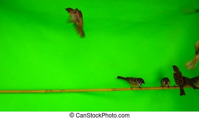 Slow motion sparrows (passer)  sitting on a branch on a green screen