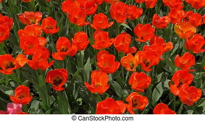 Slow motion top view of red tulips field