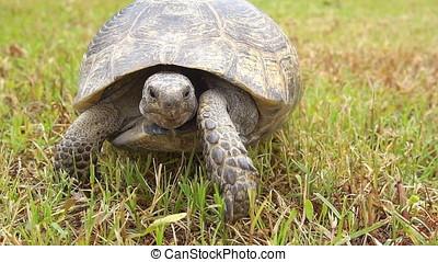 Slow motion, Tortoise Walking on The Grass