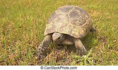 Slow motion, Tortoise Walking on The Grass.