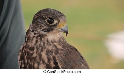 Slow motion - trained falcon sitting on woman hand at ...