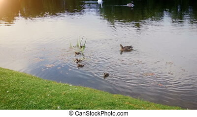Slow motion video of little ducklings swimming with mother...