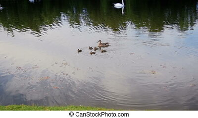Slow motion video of mother duck swimming with ducklings on...