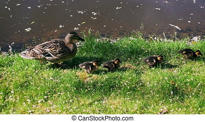 Slow motion video of mother duck walking with ducklings on...