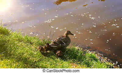 Slow motion video of mother duck with ducklings sitting by...