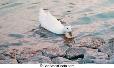 Slow motion white duck swimming in a pond, looking for food. Wildlife concept.