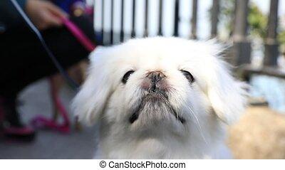 SLOW MOTION: white Japanese Chin dog close up on blurred park background.